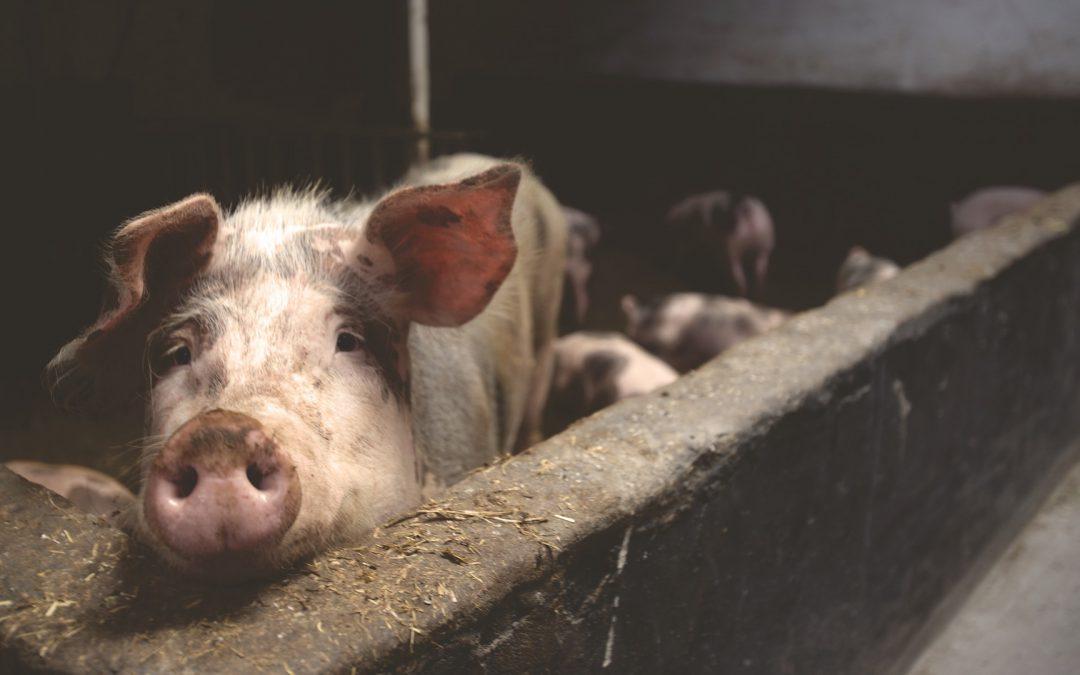 El bienestar: ¿derecho animal o argumento humano?
