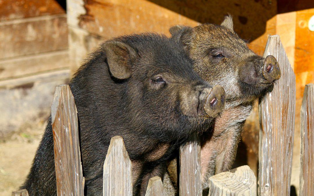 Cerdos en la ciudad. Visiones urbanas de la inclusión/exclusión de la animalidad.