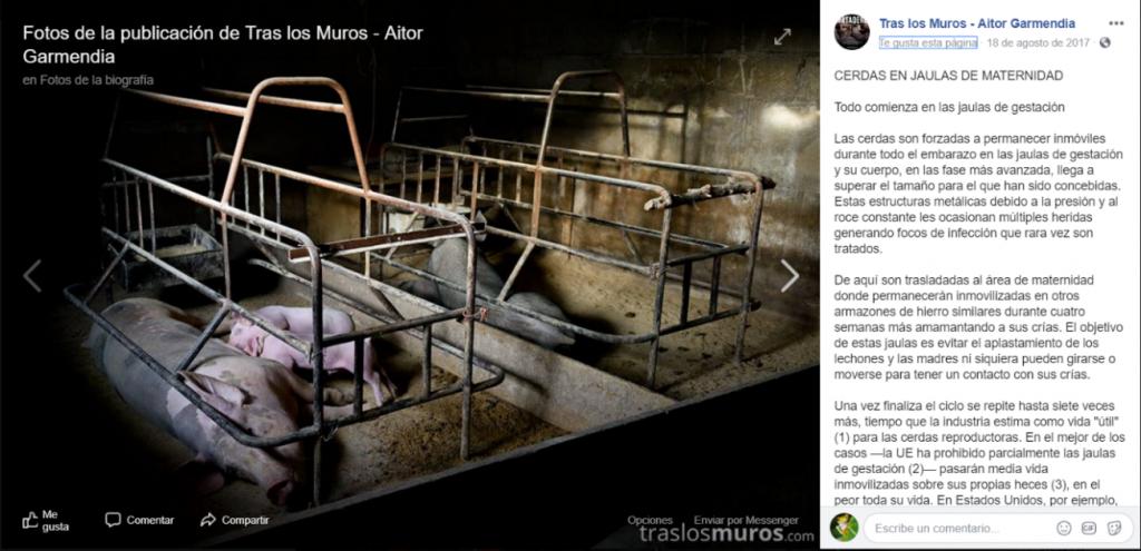 Figura 5. Cerdas en jaulas de maternidad. Aitor Garmendia – Tras los muros (Página de Facebook)